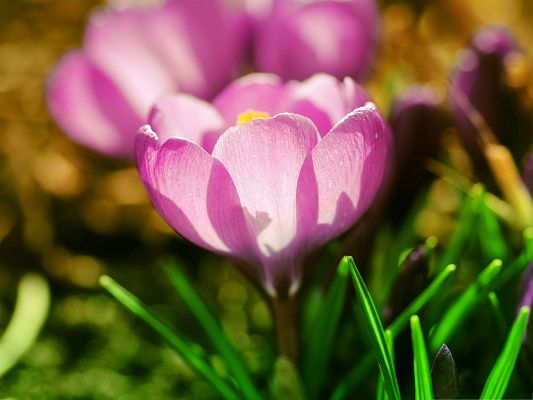 click to free download the wallpaper--Wallpaper Computer Background, Pink Crocuses in Blossom, Happy Spring Time