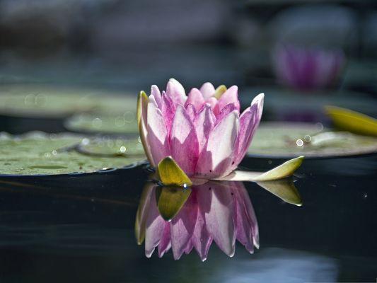 Wallpaper Computer Background, Water Lily Reflection, Cheer for Its Bloom!