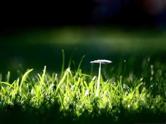 click to free download the wallpaper--Wallpaper Computer Background, White Mushroom Standing Among Green Grass