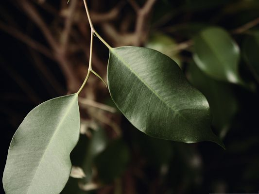 click to free download the wallpaper--Wallpaper Free Computer, Ficus Leaves in Great Growth, Impressive Landscape