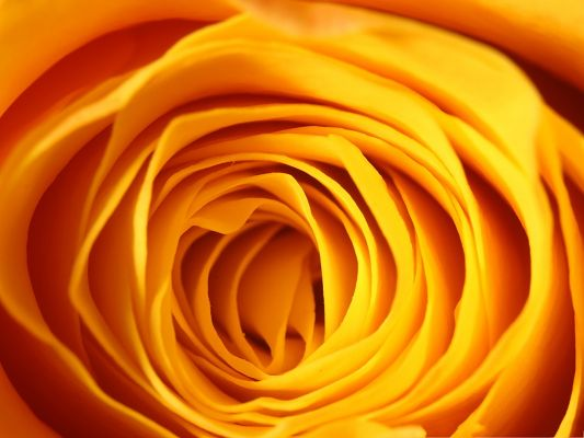 click to free download the wallpaper--Wallpaper Free Computer, a Yellow Rose Under Macro Focus, Beautiful Petals