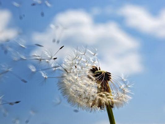 click to free download the wallpaper--Wallpaper for Computer, Dandelion in the Fly, Make a Wish to It!