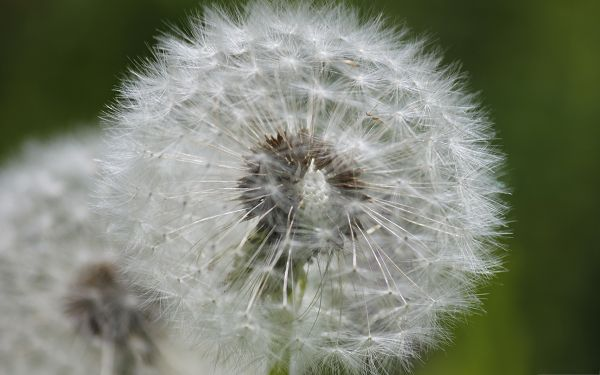 click to free download the wallpaper--Wallpaper for Computer Desktops, White and Ripe Dandelion, Green Background