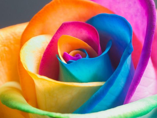 click to free download the wallpaper--Wallpaper for Computer, Rainbow Rose on Macro Focus, Colorful and Impressive