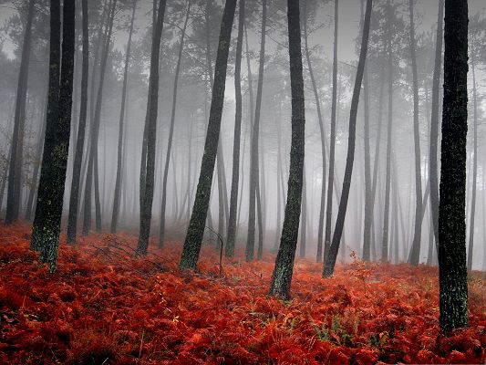 Wallpaper for Computer, Tall Black Trees in the Misty Forest, Red Flowers Like Blood