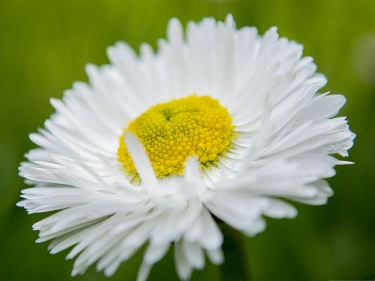 click to free download the wallpaper--Wallpaper for Widescreen, Camomile Under Macro Focus, Green Background