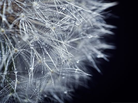 click to free download the wallpaper--Wallpaper for Widescreen, Fluffy Dandelion, Crystal Clear Rain Drops