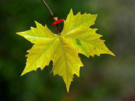 click to free download the wallpaper--Wallpaper for Widescreen, Maple Leaf About to Fall, Green and Impressive