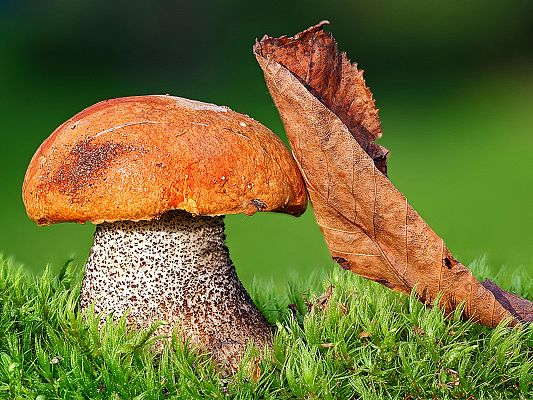 Wallpaper for the Computer, Brown Mushroom Around Green Grass, Incredible Look