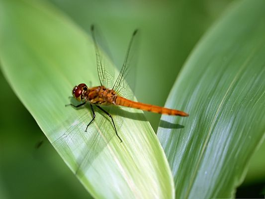 click to free download the wallpaper--Wallpaper for the Computer, Orange Dragonfly on Green Leaves, Nice Scene