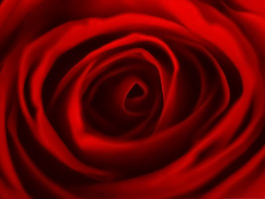 click to free download the wallpaper--Wallpaper for the Computer, Red Rose in Blossom, Can Drive Women Crazy!