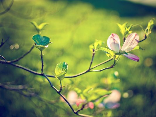click to free download the wallpaper--Wallpapers and Backgrounds Download, Dogwood Tree Blossom, Green and Fresh Scene