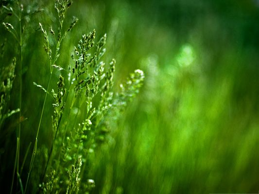 click to free download the wallpaper--Wallpapers and Backgrounds Download, Spikes Of Grass, Green and Protective