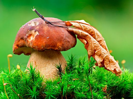 click to free download the wallpaper--Wallpapers and Backgrounds, Dry Mushroom and Leaf, Leaning on Each Other