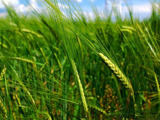 click to free download the wallpaper--Wallpapers and Backgrounds, Green Wheat Spikes Under the Blue Sky