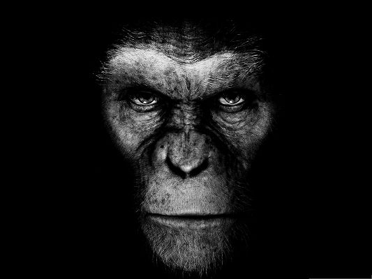click to free download the wallpaper--Wallpapers and Backgrounds, Rise Of The Planet Of The Apes, Serious Animal