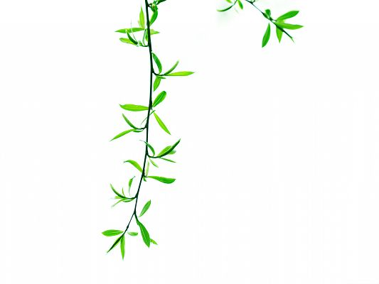 Wallpapers for Computer Free, Green Leaves On Branch, Put on White Background