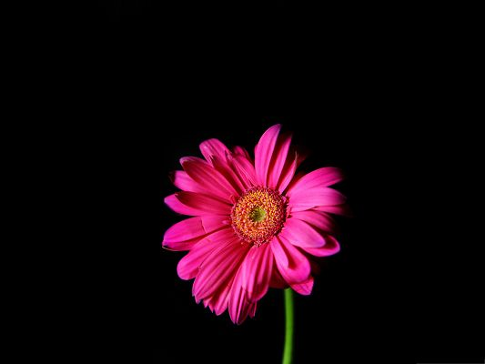 click to free download the wallpaper--Wallpapers for Computer Free, Hot Pink Gerber Daisy on Dark Background
