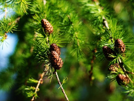 click to free download the wallpaper--Wallpapers for Computer Free, Pine Cones Spring, Green and Impressive