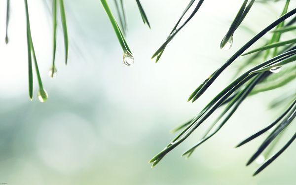 click to free download the wallpaper--Wallpapers for Computer Free, Wet Fir Tree Needles, Waterdrops About to Fall