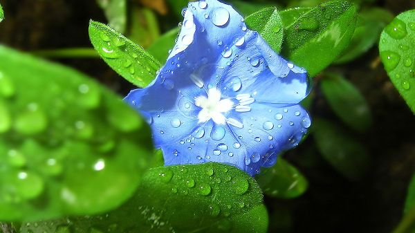click to free download the wallpaper--Waterdrops All Over Green Grass and Blue Flower, Are Fresh and Clear, What an Impressive Scene! - Natural Scenery Wallpaper