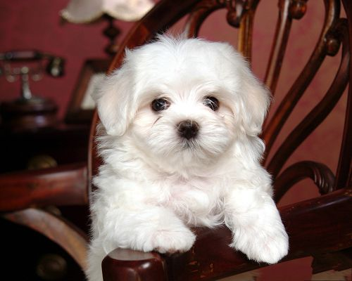 click to free download the wallpaper--White Baby Dog, Sitting Still on Wooden Chair, Quite a Cutie!