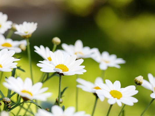 click to free download the wallpaper--White Blooming Flowers, Tiny Flower Smiling, Clean and Fresh Scene