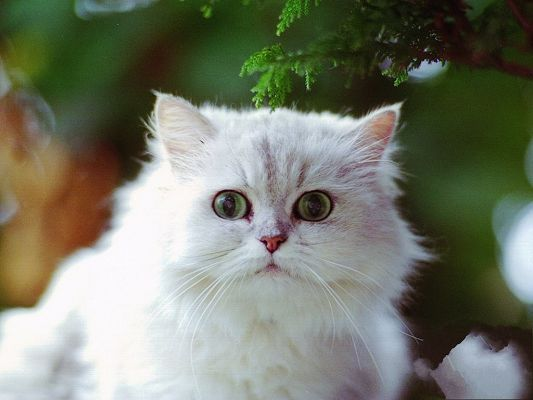 click to free download the wallpaper--White Cat Picture, Green Leaves, Kitten Cooperative in Taking Photos