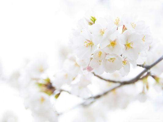 click to free download the wallpaper--White Cherries Picture, Blooming Cherries on Thin Branch, Fresh and White World