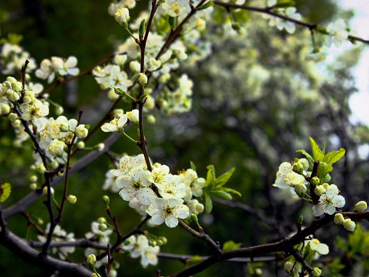 click to free download the wallpaper--White Cherries Picture, Tiny and Beautiful Spring Flowers