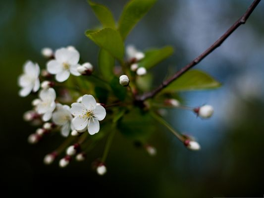 click to free download the wallpaper--White Cherry Flowers Photography, White Flowers and Green Leaves, Incredible Scene