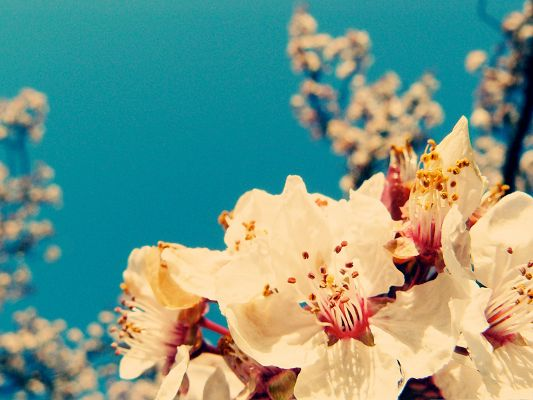 click to free download the wallpaper--White Cherry Flowers, Pure Flower in Bloom, Under the Blue Sky