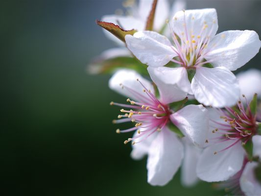 click to free download the wallpaper--White Cherry Flowers, Tiny Blooming Flowers Under Macro Focus, Incredible Look