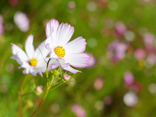 White Cosmos Flower, Little Flowers in Bloom, Incredible Scene