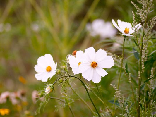 click to free download the wallpaper--White Cosmos Flowers, Pure Blooming Flower, Green Background