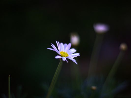 White Flower Images, Lonely Pure Flower on Black Background, Night Scene