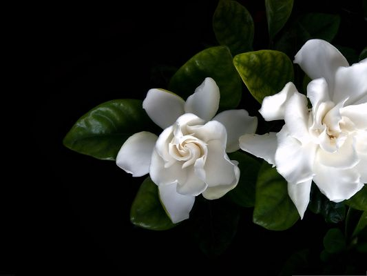 White Flower Pictures, Pure and Blooming Flowers, Fresh and New Leaves