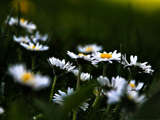 click to free download the wallpaper--White Flowers Photo, Little Flower in Bloom, Green Grass Around