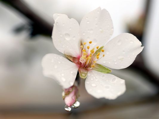 click to free download the wallpaper--White Flowers Photo, Pure Flower with Rain Drops on Its Petal, Great Spring Scene