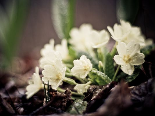 click to free download the wallpaper--White Flowers Photography, Small Flowers in the Rain, Clean and Fresh Scene