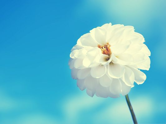 click to free download the wallpaper--White Flowers Picture, Blooming Flower in the Blue Sky, Impressive Scenery