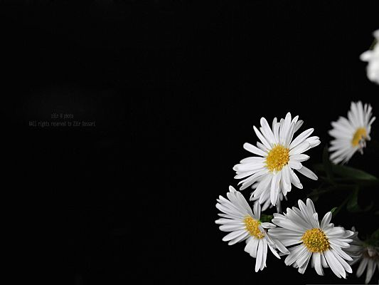 White Flowers Picture, Blooming Little Flowers Put Against Black Background