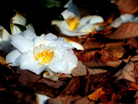 click to free download the wallpaper--White Flowers Picture, Pure and Beautiful Flowers, Fallen Leaves