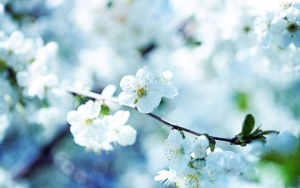 White Flowers in Full Bloom, Quite Attractive for Their Pureness and Clearness - HD Natural Scenery Wallpaper