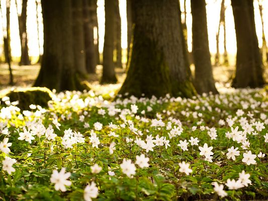 click to free download the wallpaper--White Forest Flowers, Tiny Flowers on Green Grass, Tall Trees in the Stand