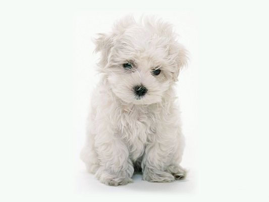 click to free download the wallpaper--White Maltese Poodle