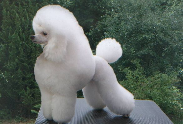 click to free download the wallpaper--White Miniature Poodle