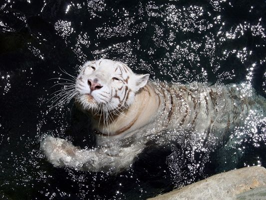 click to free download the wallpaper--White Swimming Tiger, Taking a Bath in the River, a Good Swimmer