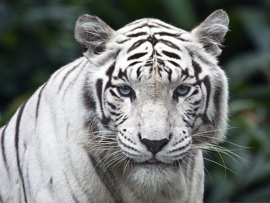 click to free download the wallpaper--White Tiger Images, Tongue Stretched Out, Looking Faraway