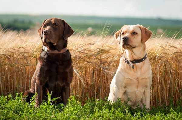 White and Chocloate Labradors